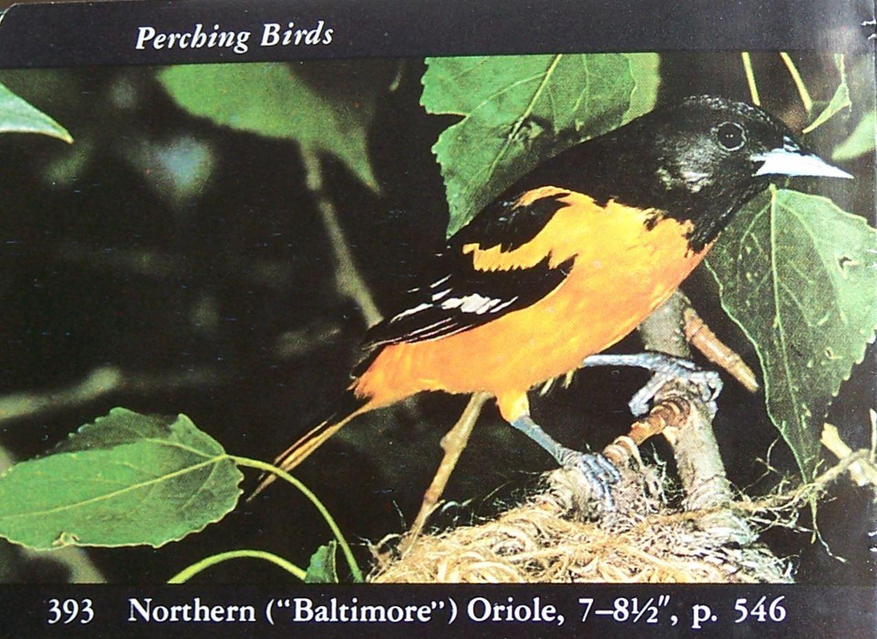 Baltimore Oriole en pájaros birding pájaro-opedia